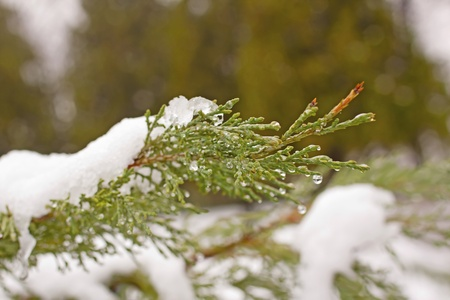 Lite green branch of fir with snow and drops photo