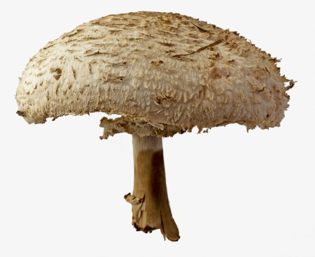 Isolated mushroom with large chapel, over white background photo