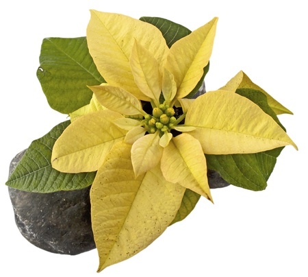 Yellow Poinsettia seen from abover over a white background photo