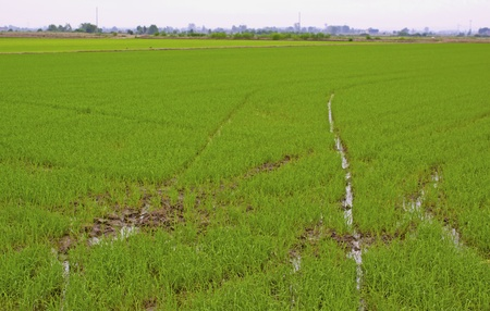 Close up of a green rice field with canals for water photo