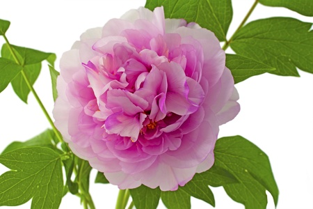 Close up of a big pink wonderful camellia Stock Photo