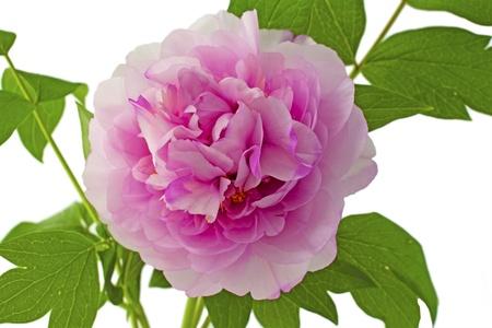 Close up of a big pink wonderful camellia Stock Photo