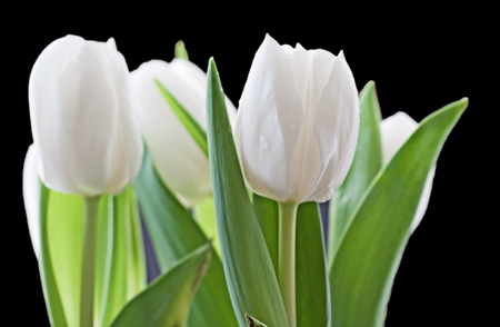 Close up of white tulip over black photo