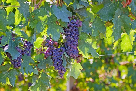 napa valley: Close up of black grape on a vine