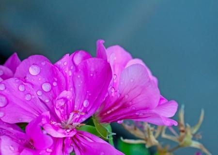 Close up of geranium with dorps of rain photo