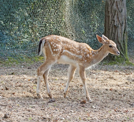 full length herbivore: Young deer standing on the dirt Stock Photo