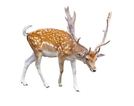 Walking deer isolated over a white background