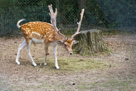 full length herbivore: Deer with big horns walking in the wood Stock Photo