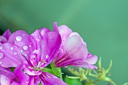 Close up of pink geranium with drops of water photo