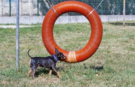 pincher: Black and brown pincher near a dog game Stock Photo
