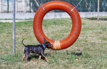 brown dobermann: Black and brown pincher near a dog game Stock Photo
