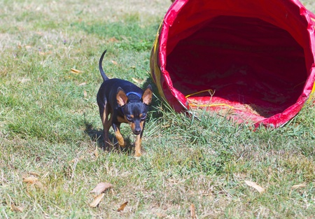 pincher: A walking black and brown pincher near a dog game Stock Photo