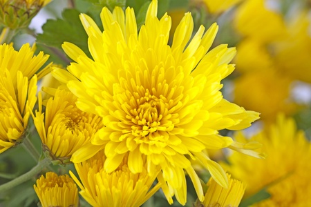Close up of a yellow daisy in a bunch photo