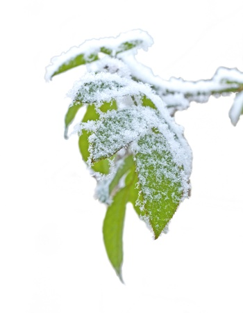 Green leaves covered by snow isolated over white Stock Photo - 12013180