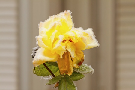 A yellow rose covered by the snow photo
