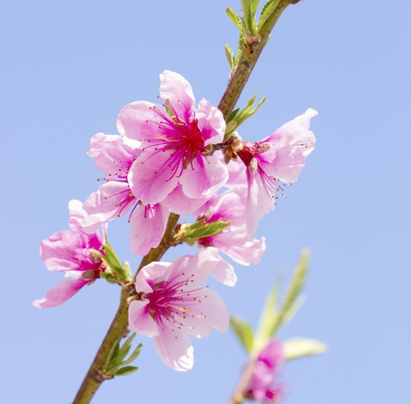 Close up of pink peach flowers from a tree photo