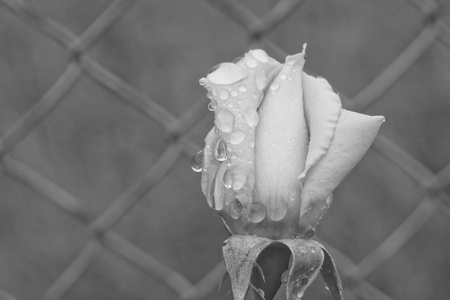 Black and white image of a rose photo