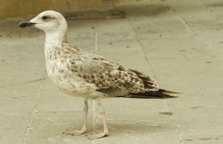 Close up of a white and brown seagull walking  photo