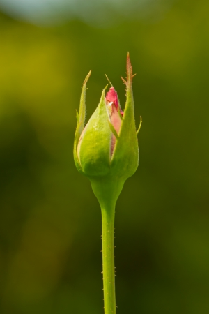 Close up of a standing rosebud over green background photo