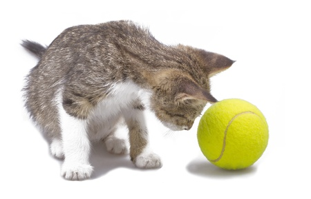 Isolated over white cat looking at a tennis ball photo