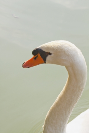 Closeup of white beautiful swan swimming in a pool photo
