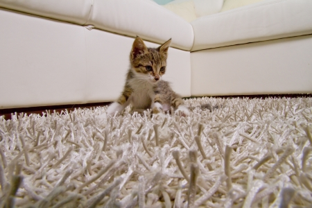 Little adorable cat over a white carpet photo