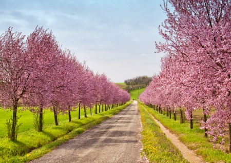 A road coasted by peach trees full of pink flowers