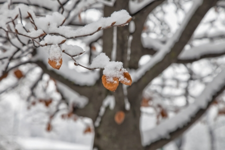 White snow on a red leaves, over gray sky Stock Photo - 16878711