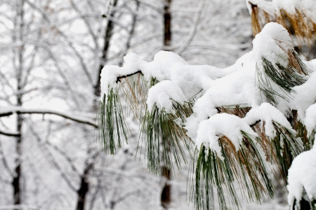 Snow surrounding the branches of a fir Stock Photo - 16985346