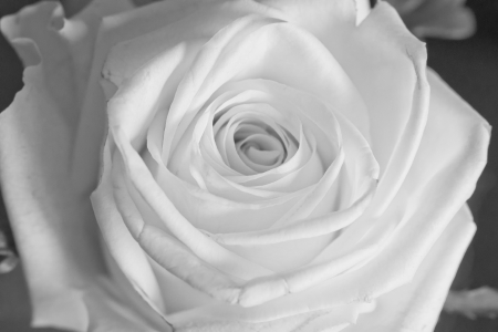 Strict close up of a white rose photo