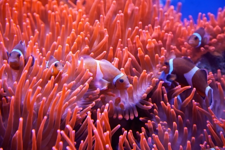A red and white clown fish coming out of red coral
