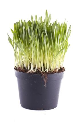 nepeta cataria: Un vaso di erba gatta isolato su sfondo bianco