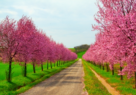 Peach trees full of pink flowers on the side of a country road