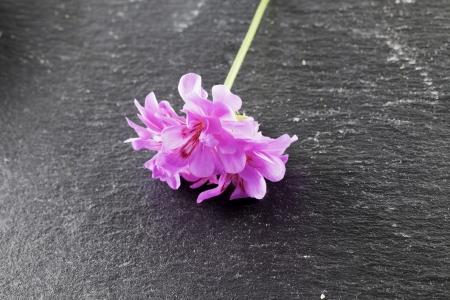 Pink Geranium over a black stone background photo