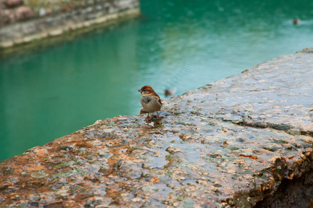 Lonely sparrow on a wet wall near a canal photo