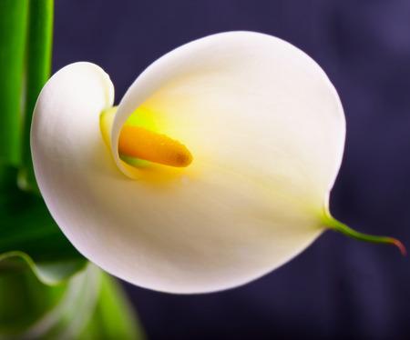 White calla in close up, black background photo