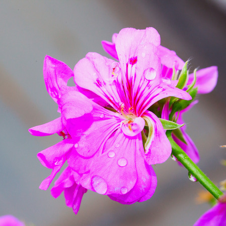 Pink geranium with drops of water in close up