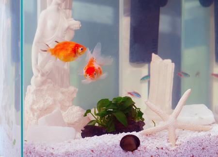 neon fish: Aquarium with pearlscale goldfish and neon fish Stock Photo