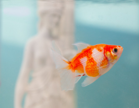 Pearlscale goldfish in close up, swimming in a bowl Stock Photo