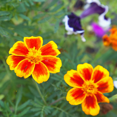 patula: Tagetes Patula, yellow and red flower in a garden