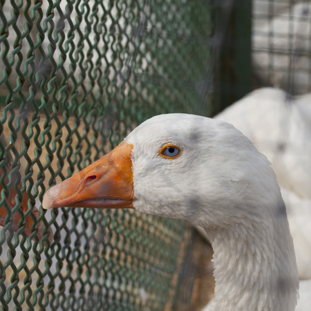 Still blue eyed duck, close up, square image