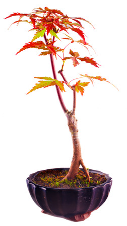 acer palmatum: Bonsai Acer Palmatum isolated over white background