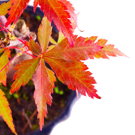 Leaves of Acer Palmatum over white background photo