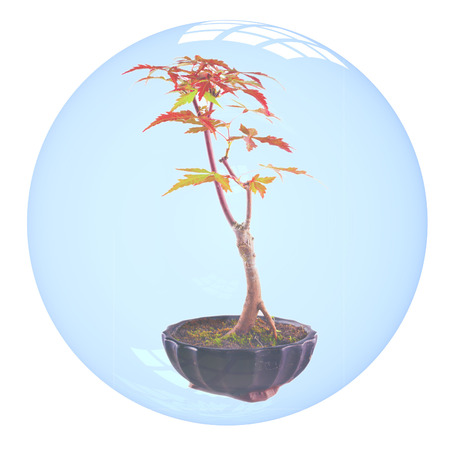 Acer palmatum bonsai inside a bubble, isolated over white photo