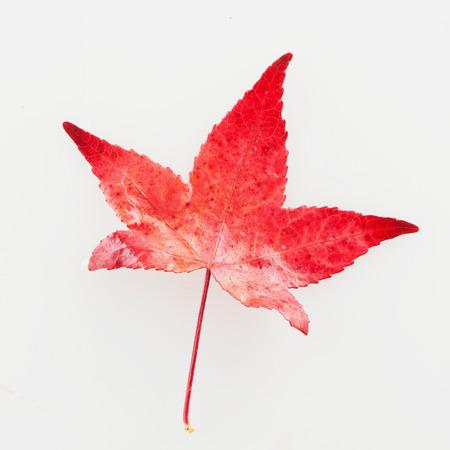 palmatum: Red leaf of Acer Palmatum, square image Stock Photo