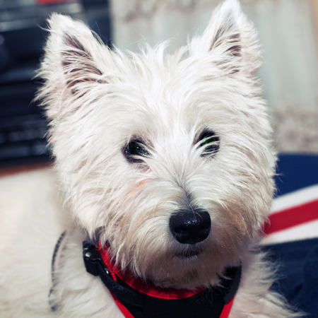 cute westie: West Highlands terrier in portrait, square image Stock Photo