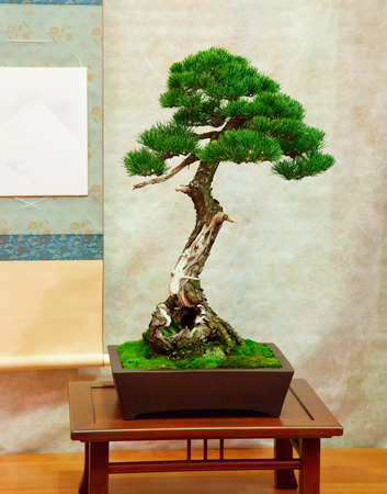 acer palmatum: Bonsai tree with twisted trunk vertical image