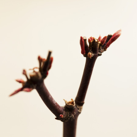 acer palmatum: Sprout of acer palmatum over white background, square image
