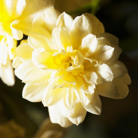 coronarium: Yellow chrysantemum in close up, square image Stock Photo
