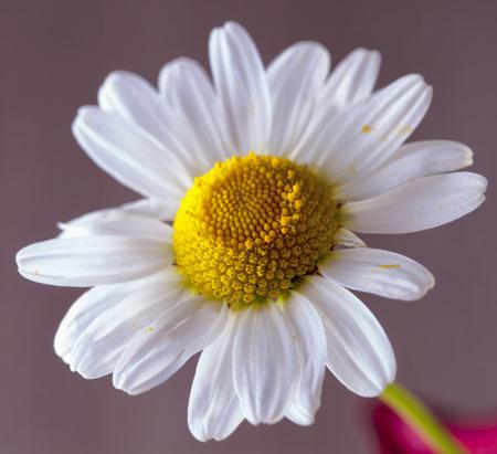 lite: White daisy standing over lite brown background, horizontal image Stock Photo
